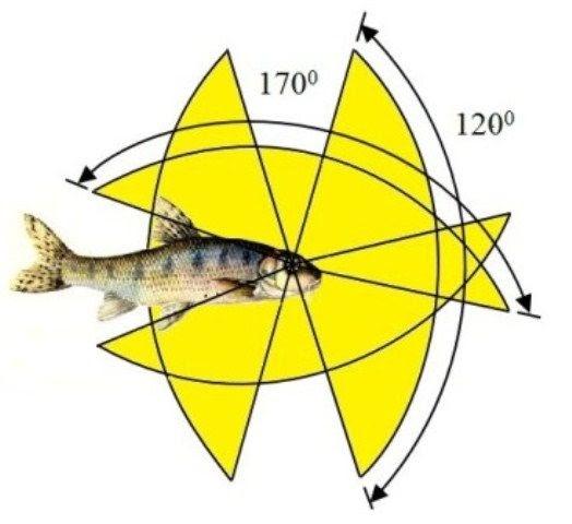 Углы обзора рыб