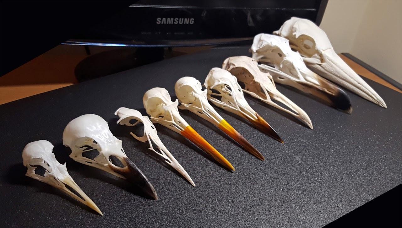 Черепа птиц